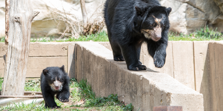 Andean bear mother and cub walk