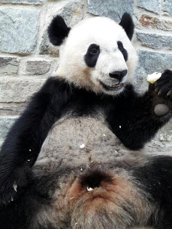 Giant panda Bei Bei eating a frozen pear