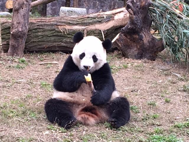 Giant panda Bao Bao eating bamboo in China at the Dujiangyan panda base