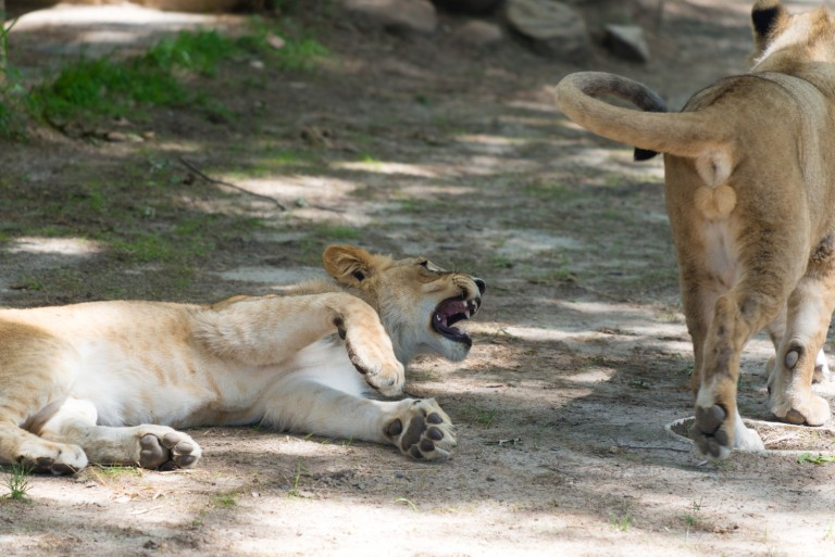 Lion on ground snarling at passing lion