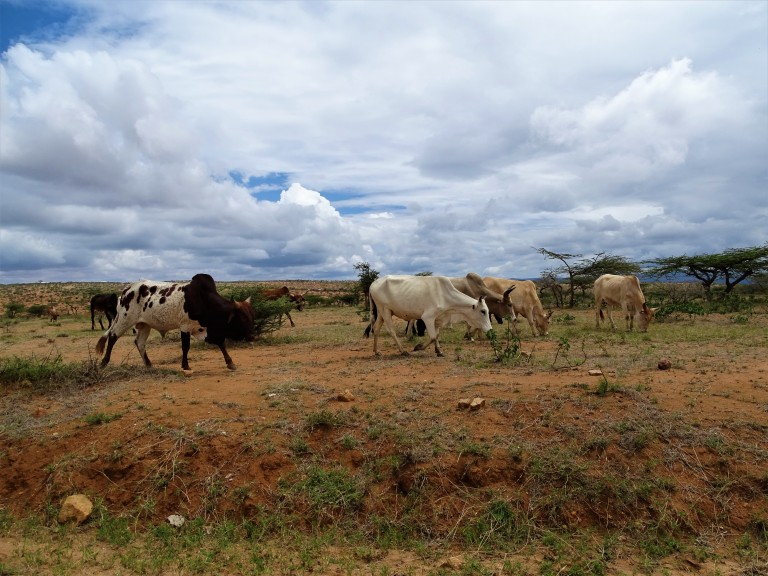 A small herd of cattle grazes in a dry landscape of dirt and grasses under a blue sky with large white clouds. Small trees and more cattle can be seen in the background.