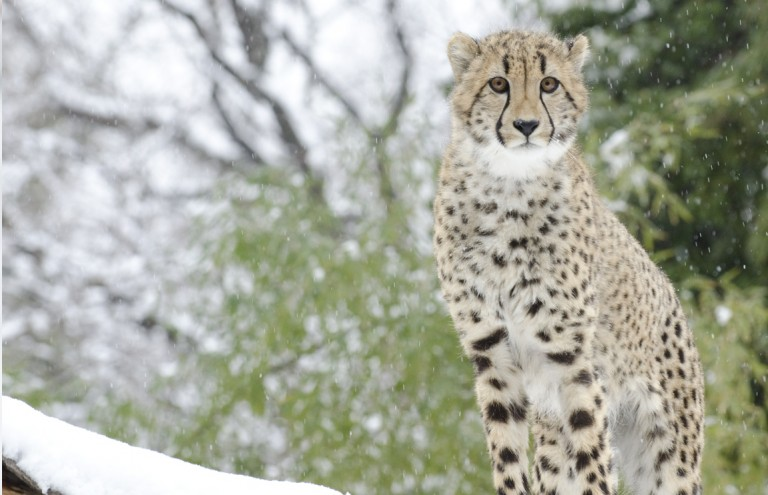 A cheetah standing with snow-covered trees in the background