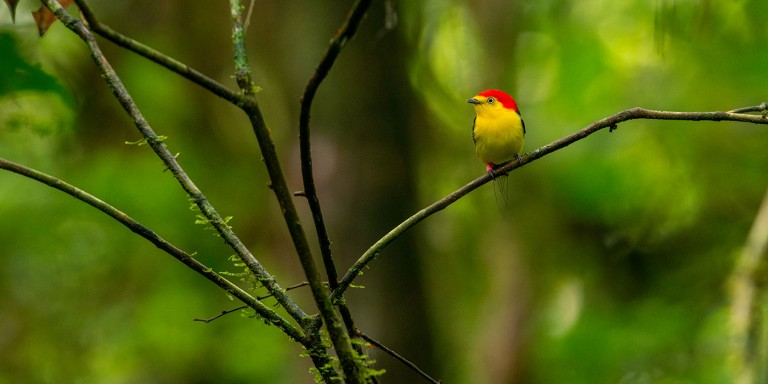 A brightly colored bird perched on a thin branch. It has a yellow chest, red head and long, slender tail feather
