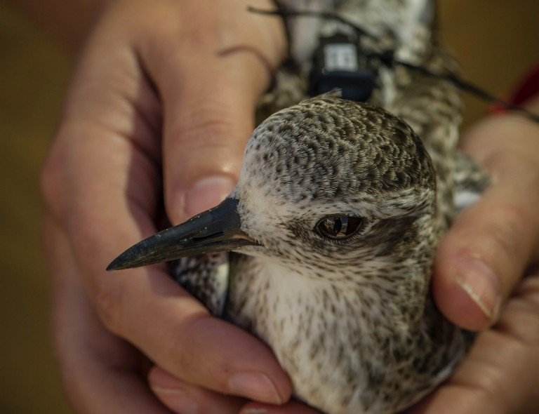 """A researcher holds a shorebird (black-bellied plover) equipped with a GPS transmitter """"backpack"""""""