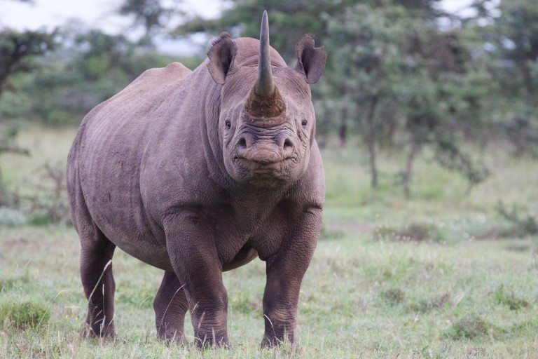 A black rhino with thick skin, large ears, a stocky body and a long horn protruding from the end of its snout