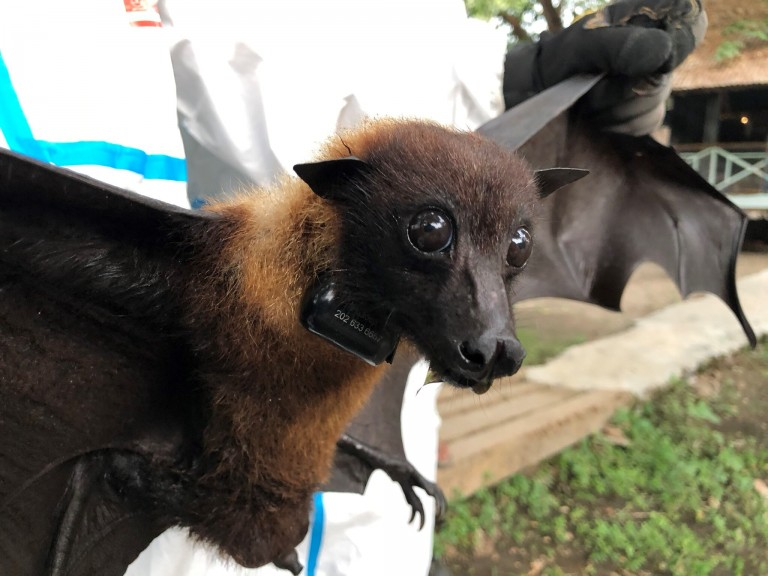 A wildlife veterinarian holds a large fruit bat wearing a satellite GPS trackin collar