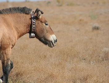 Przewalski's horse wearing a satellite tracking collar