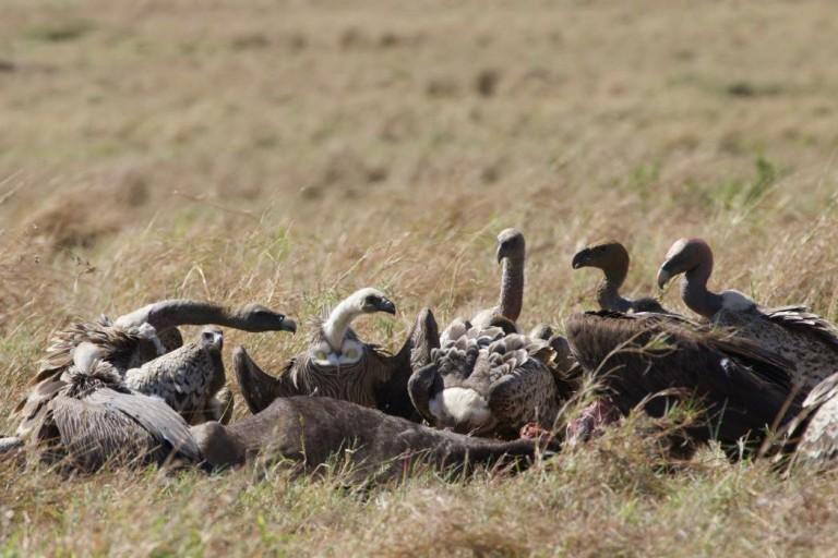 A group of vultures feeding on a carcass in the grass in Africa