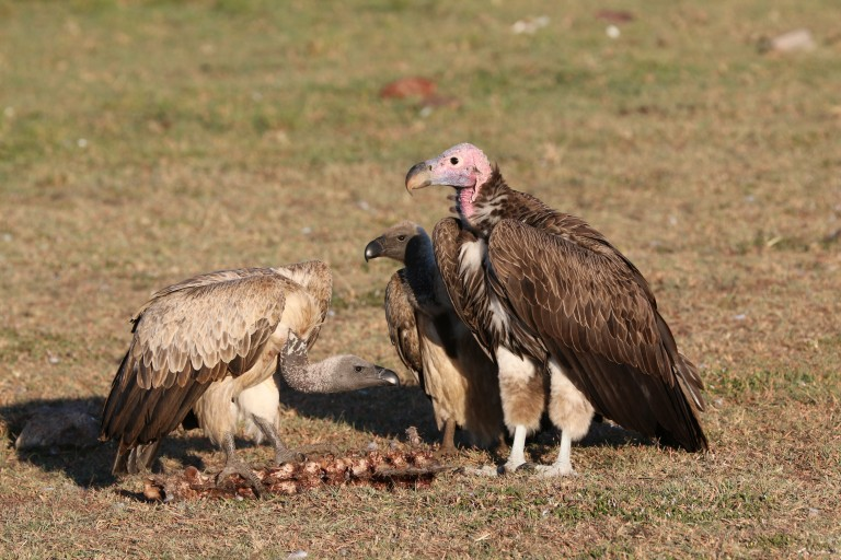 Three large vultures stand over a small carcass in a patch of short grass on a sunny day in Africa