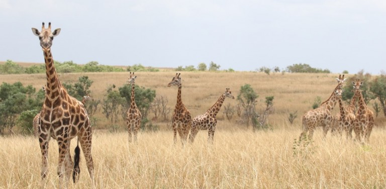 A group of giraffes stand together on grassy plains with trees and shrubs in the distance