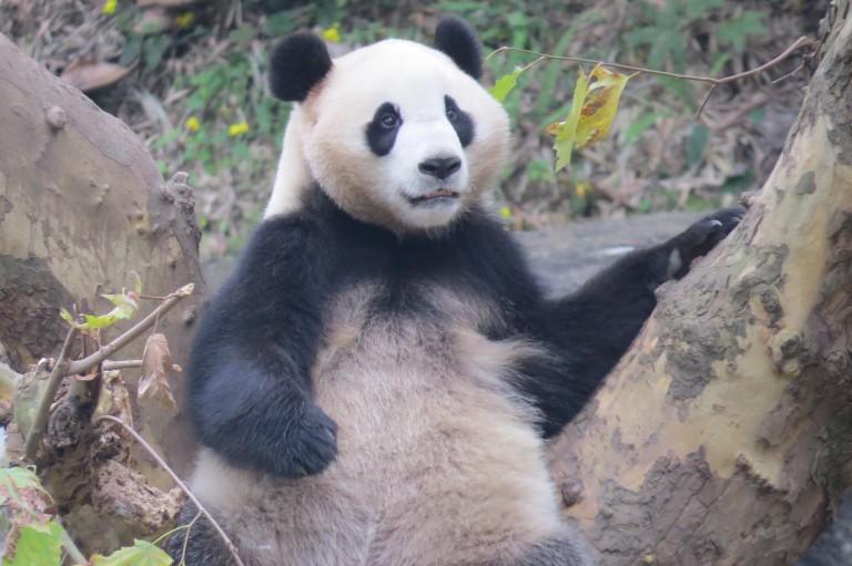 A giant panda at the Chengdu Panda Base in China