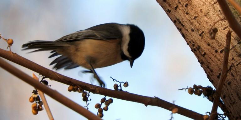 small bird jumping on a branch near berries