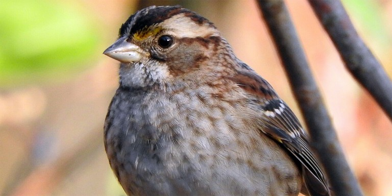 brown bird with a pale throat and conical bill