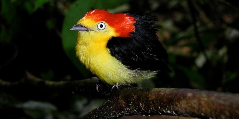 a brightly-colored tropical bird, called a wire-tailed manakin, perched on a branch
