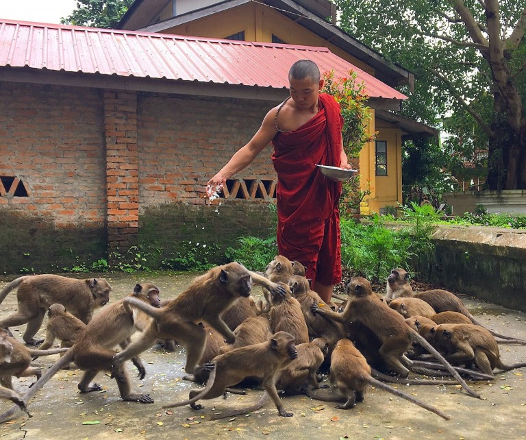 A monk in Myanmar feeds a group of monkeys gathered around his feet