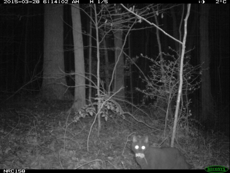 cat caught on a camera trap with a mouse in its mouth