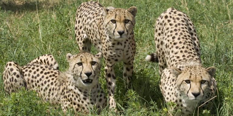 Three Cheetahs