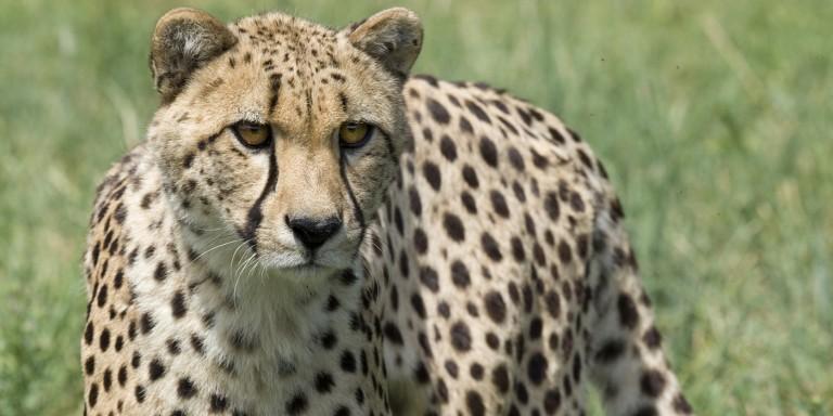 Cheetah stalks