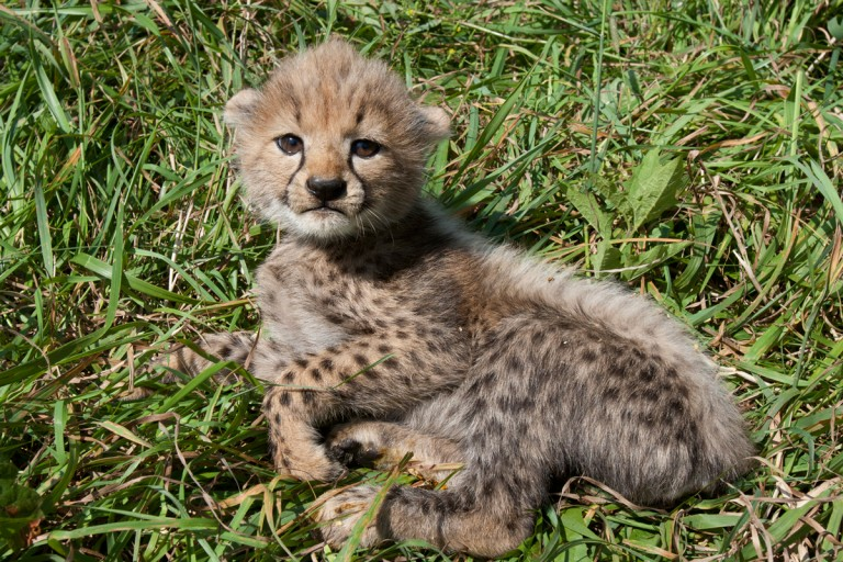 cheetah cub in lawn
