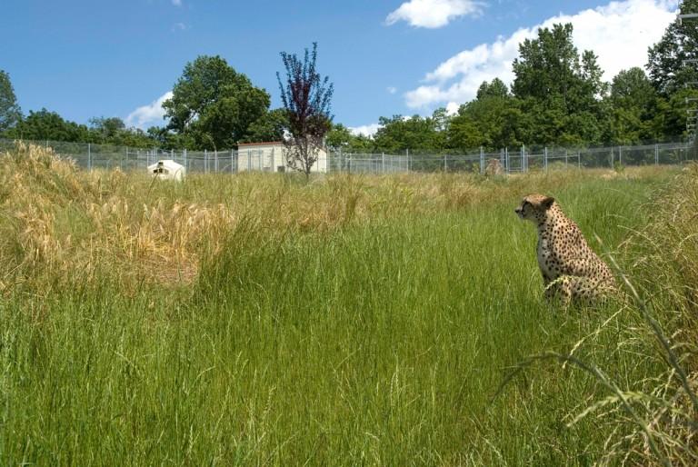 Cheetah in long grass