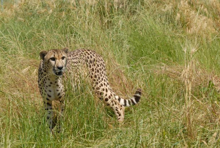 cheetah panting in the grass