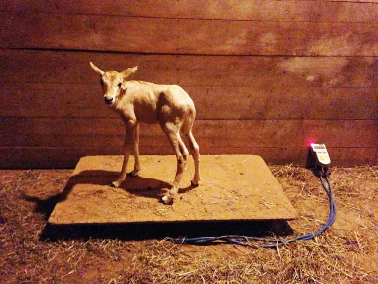 oryx calf on stand