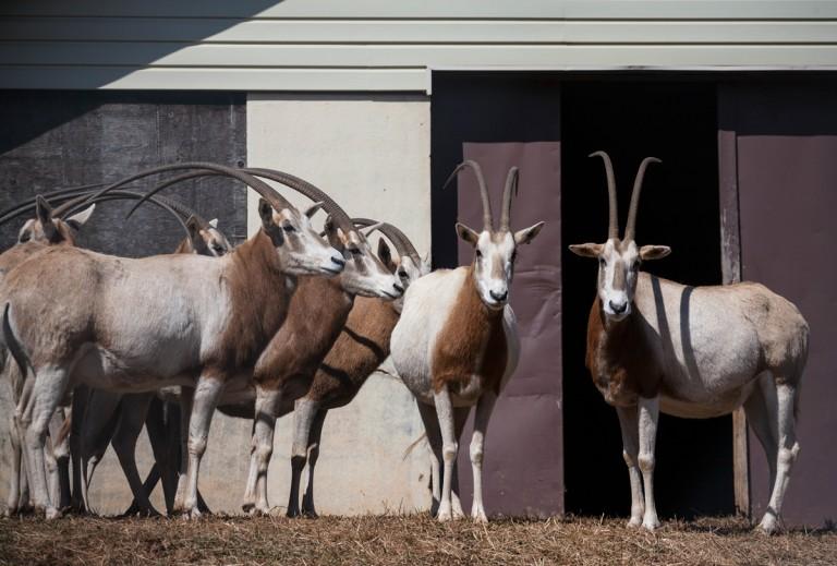 oryx herd outside building