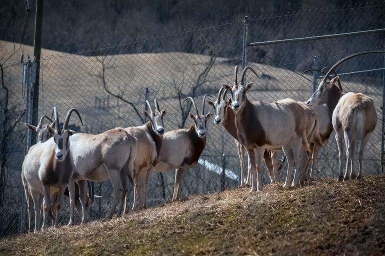 oryx herd on slope