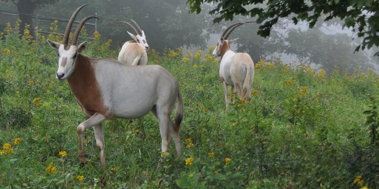 Three oryx in a field of flowers