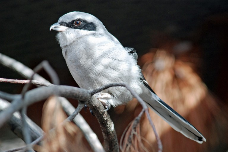 Small bird with long tail, short hooked beak and black mask