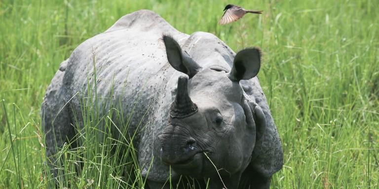 rhino in India