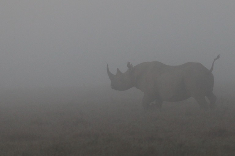 A large rhinocerous with a stocky body, short tail and long horn running through the fog