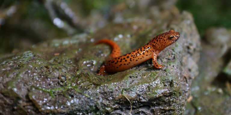 salamander on a rock
