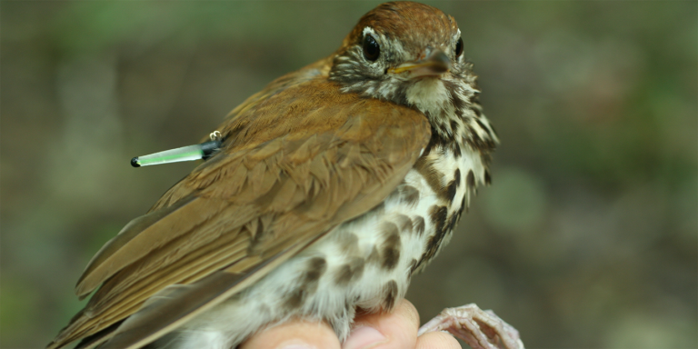 a bird with a tracking device on its back is held in a human hand