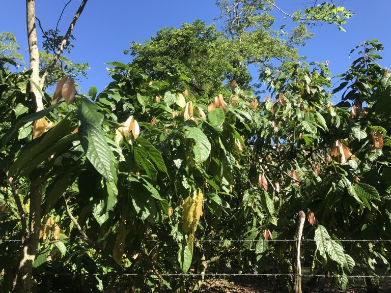 A group of young cocoa (theobroma cacao) trees on a sunny day