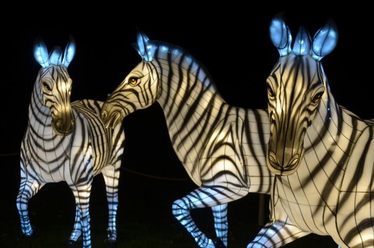 Three large zebra Chinese paper lanterns lit up at night
