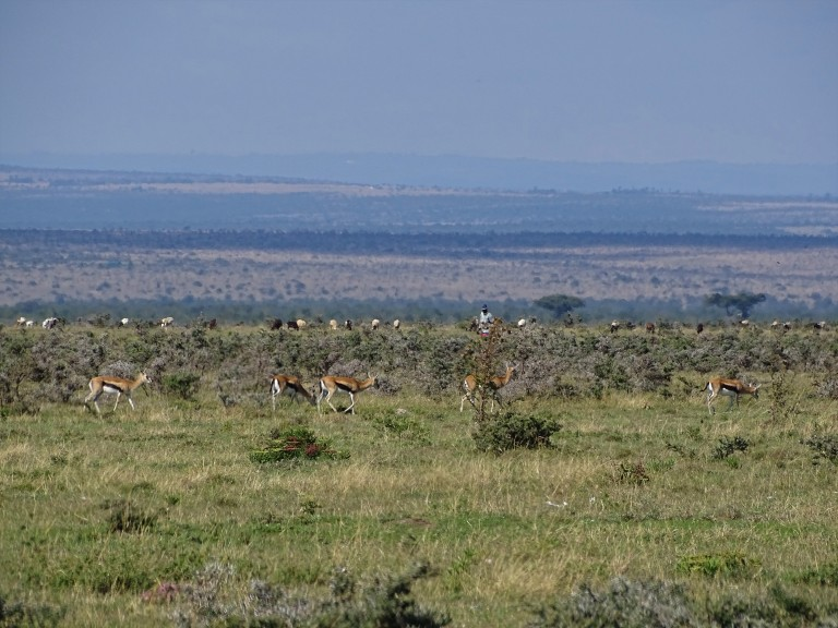 A group of gazelles with long, lean limbs grazes in a grassy field. In the background a short distance away, a farmer stands with a large herd of small livestock that is also grazing in the grass.