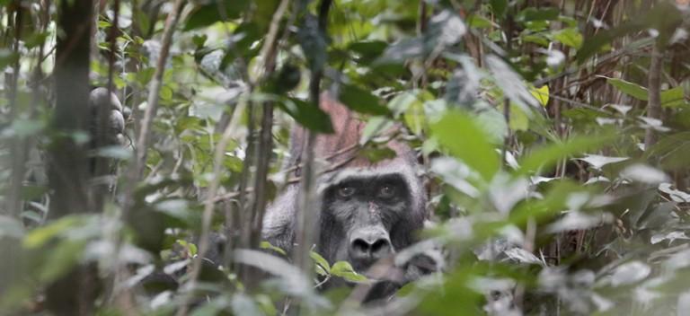 Gorilla in Gabon by David Korte