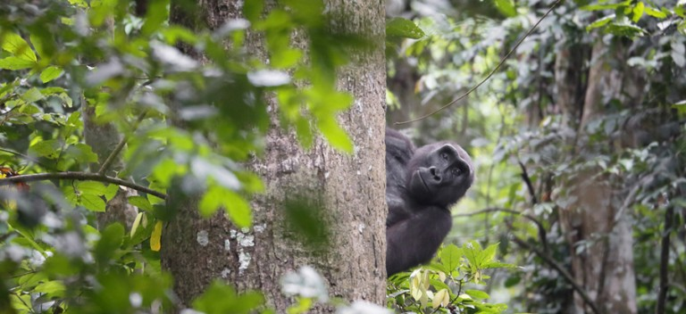Gorilla in Gabon peers out from behind a tree by David Korte