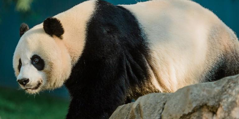 a giant panda walks along rocks