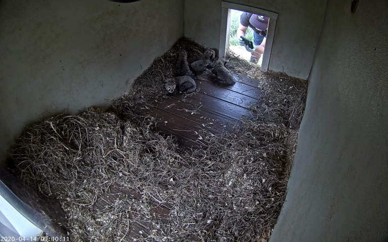 a keeper holds up a cell phone to take photos of cheetah cubs in their den