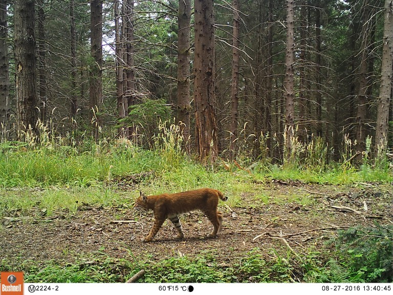 In Washington state, a bobcat strolls by a camera trap.