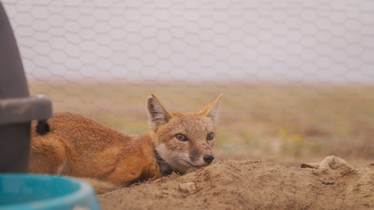 Swift fox, fitted with GPS tracking collar, in soft release pen ahead of  reintroduction.