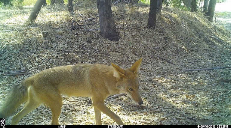 This coyote was seen on candid camera in California.