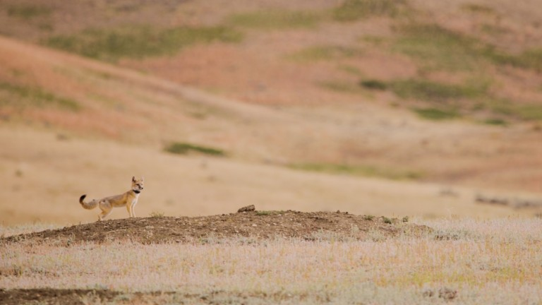 A swift fox with a small body, bushy tail and tall, pointed ears stands on a mound of dirt on an open prairie. The fox is wearing a lightweight GPS collar around its neck.