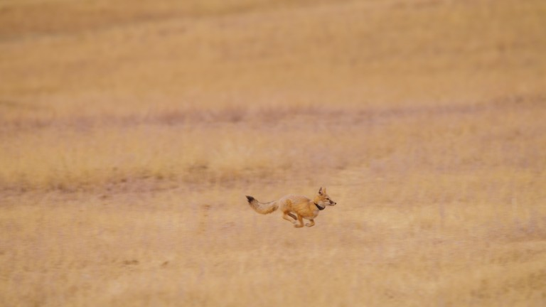 Reintroduced swift fox runs across grasslands post release.