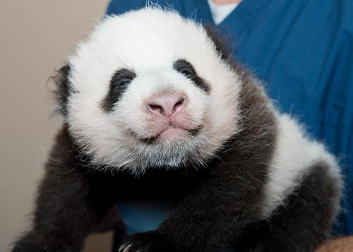 panda cub being held
