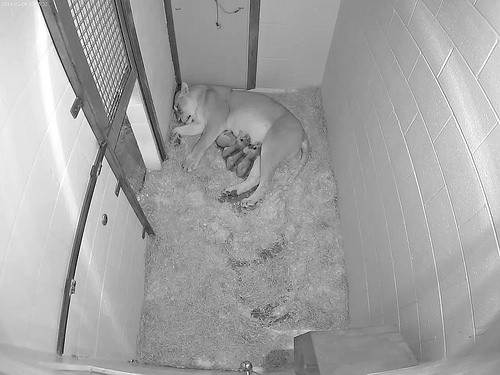 black and white photo of cubs in enclosure
