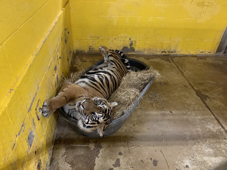 A tiger rolls around in a tub with hay. Keepers sometimes put scent enrichment in these tubs too.