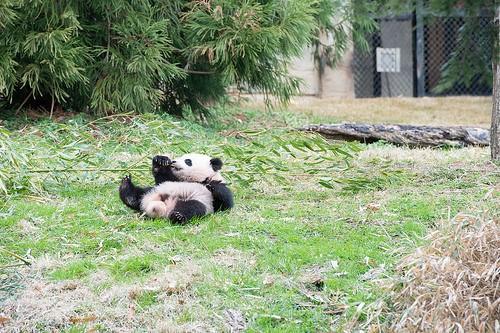 panda lying on back in grass